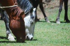 Paarden die, Ethiopië voeden royalty-vrije stock foto's