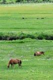 Paarden die gras eten Stock Afbeeldingen