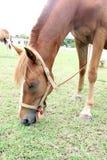 Paarden die gras in het de zomerweiland eten Stock Afbeeldingen