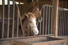 Paarden die gras in het landbouwbedrijf eten Royalty-vrije Stock Fotografie