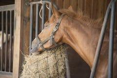 Paarden die gras in het landbouwbedrijf eten Royalty-vrije Stock Foto