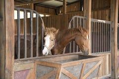 Paarden die gras in het landbouwbedrijf eten Royalty-vrije Stock Foto's