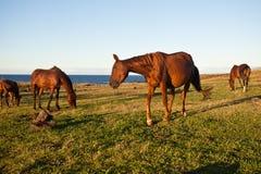 Paarden die gras op het Eiland van Pasen eten Royalty-vrije Stock Foto's