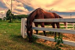 Paarden die gras op het landbouwbedrijf weiden Stock Afbeelding