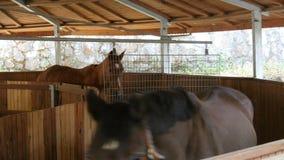 Paarden die in het lopen van oefeningsmachine lopen in stallen stock video
