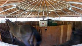Paarden die in het lopen van oefeningsmachine lopen in stallen stock videobeelden