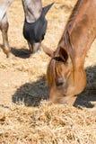 Paarden die Hooi in een Stal op Onduidelijk beeldachtergrond eten stock foto's