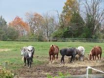 Paarden die hooi eten Royalty-vrije Stock Foto