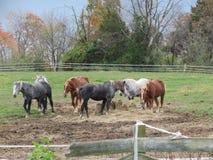 Paarden die hooi voor lunch eten Stock Afbeelding