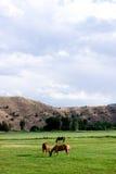 Paarden die in landbouwgrond weiden Stock Foto's