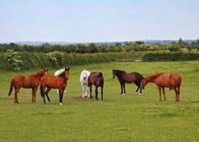 Paarden die in Landelijk Engeland weiden Royalty-vrije Stock Foto