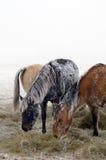Paarden die met vorst worden behandeld Royalty-vrije Stock Foto