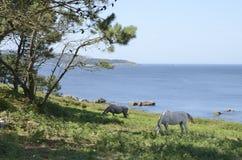 Paarden die naast de kustlijn weiden Stock Foto's