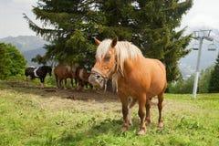 Paarden die op bergenhelling weiden Stock Foto's