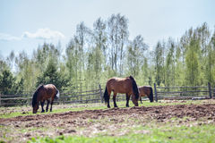 Paarden die op dorpsgebied weiden Stock Afbeeldingen