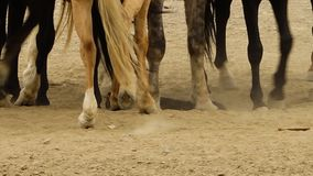 Paarden die op een geit stappen stock footage