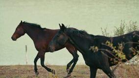 Paarden die op een grasgebied lopen stock footage