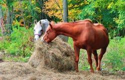 Paarden die op een vroege de herfstochtend eten stock afbeelding