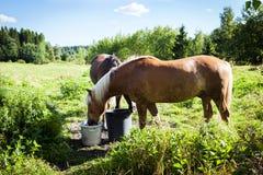 Paarden die op gebied in de zomerdag, veel groen, in Finland weiden Stock Foto