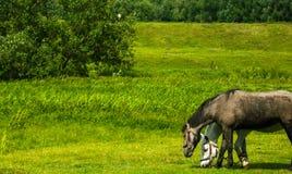 Paarden die op gebied in landelijk weiden Royalty-vrije Stock Afbeeldingen