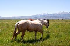 Paarden die op gebied weiden Stock Afbeeldingen