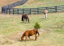 Paarden die op gebied weiden Royalty-vrije Stock Fotografie