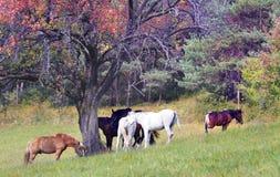 Paarden die op gebied weiden Stock Fotografie