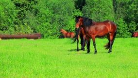 Paarden die op groen gebied lopen Bruine paarden die op weiland weiden stock video