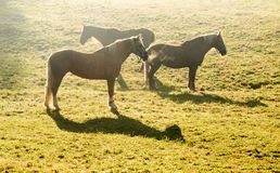 Paarden die op groene weide in zonsopgangtijd weiden stock fotografie