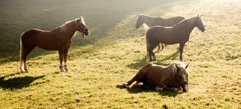Paarden die op groene weide in zonsopgangtijd weiden stock afbeelding