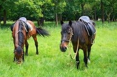 Paarden die op het gazon weiden Stock Afbeelding