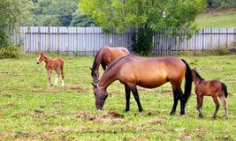 Paarden die op het gebied weiden. Stock Foto's