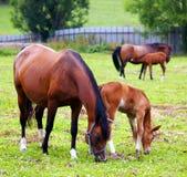 Paarden die op het gebied weiden. Royalty-vrije Stock Afbeelding