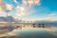 Paarden die op het strand bij zonsondergang lopen Stock Afbeeldingen