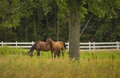 Paarden die op Landbouwbedrijf weiden Stock Afbeelding