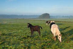 Paarden die op ochtendweiland weiden Stock Foto