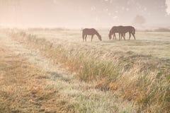 Paarden die op ochtendweiland weiden Stock Afbeelding
