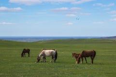 Paarden die op steppeweilanden weiden in Kazachstan, centraal Azië Royalty-vrije Stock Afbeeldingen