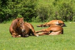 Paarden die op weide rusten Stock Foto
