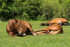 Paarden die op weide rusten Royalty-vrije Stock Fotografie