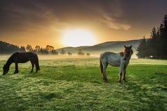 Paarden die op weiland bij nevelige zonsopgang weiden Royalty-vrije Stock Afbeeldingen
