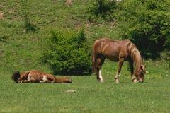 Paarden die op weiland rusten Stock Foto