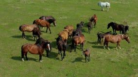Paarden die op weiland, satellietbeeld weiden van groen landschap met een kudde van bruine paarden en één enkel wit paard stock video