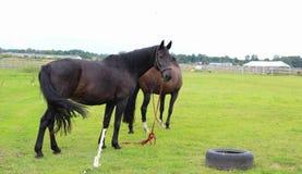 Paarden die op weiland weiden Stock Foto's