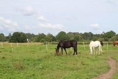 Paarden die op weiland weiden Royalty-vrije Stock Afbeeldingen