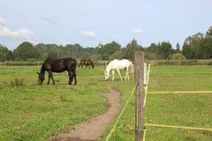 Paarden die op weiland weiden Stock Afbeelding