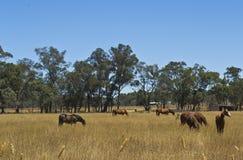 Paarden die in paddock op post dichtbij Dubbo, Nieuw Zuid-Wales, Australië weiden Stock Foto