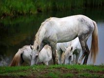Paarden die in riviervallei weiden Royalty-vrije Stock Fotografie