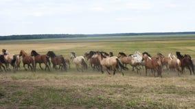 Paarden die rond het gebied lopen stock videobeelden