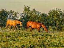 Paarden die, stil zonder een leiband op het gebied weiden stock fotografie